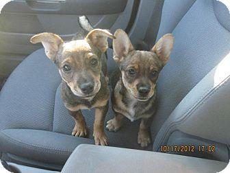 Chihuahua/Corgi Mix Puppy for adoption in San Diego, California - Milo