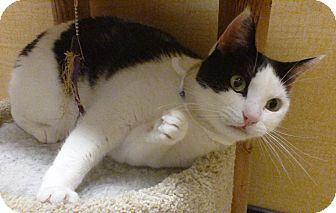 Domestic Shorthair Cat for adoption in Worcester, Massachusetts - Chip