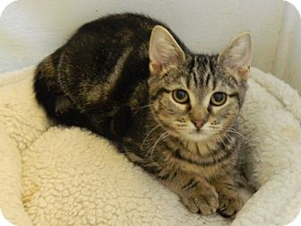 Domestic Shorthair Kitten for adoption in The Colony, Texas - Padua