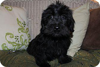 Scottie, Scottish Terrier/Shih Tzu Mix Puppy for adoption in Hagerstown, Maryland - Armani