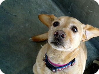 Labrador Retriever Mix Dog for adoption in Valley Village, California - TAMMY