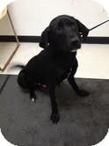 Labrador Retriever Mix Dog for adoption in Lancaster, Virginia - Lucas
