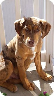 Catahoula Leopard Dog Mix Puppy for adoption in New Oxford, Pennsylvania - Clyde