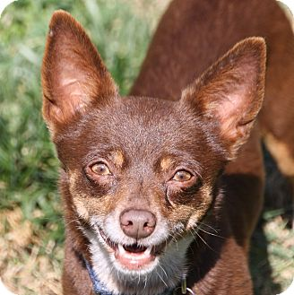 Chihuahua/Terrier (Unknown Type, Small) Mix Dog for adoption in Edmonton, Alberta - Marie