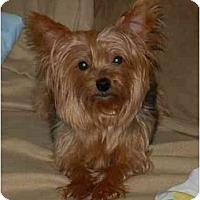 Adopt A Pet :: Lily - Charlotte, NC