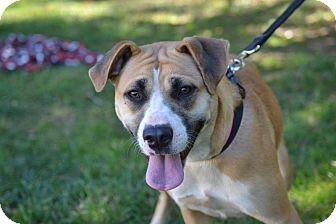 Boxer/Labrador Retriever Mix Dog for adoption in Broadway, New Jersey - Lori