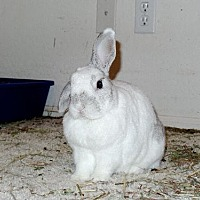 Adopt A Pet :: Chopper - Mesa, AZ