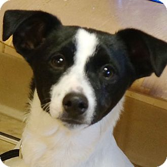 Fox Terrier (Smooth) Mix Dog for adoption in Sprakers, New York - Dallas
