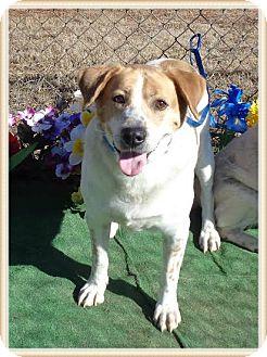 Pointer Mix Dog for adoption in Marietta, Georgia - SHAKESPEARE (R)
