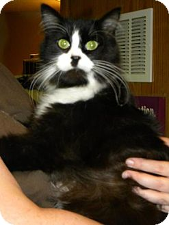 Domestic Mediumhair Cat for adoption in Parkville, Missouri - Percy