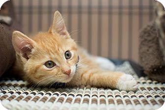 Domestic Shorthair Kitten for adoption in Edmonton, Alberta - Sheldon