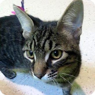 Domestic Shorthair Cat for adoption in Janesville, Wisconsin - Donny