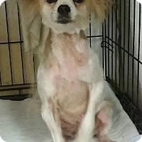 Adopt A Pet :: Paylen - House Springs, MO
