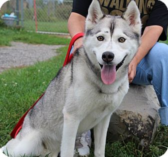 Siberian Husky Mix Dog for adoption in Elyria, Ohio - Candy
