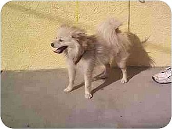 Pomeranian/American Eskimo Dog Mix Dog for adoption in Downey, California - Boots