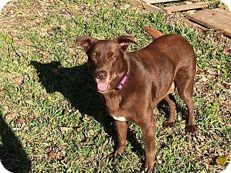 Labrador Retriever Mix Dog for adoption in Austin, Texas - Lovey
