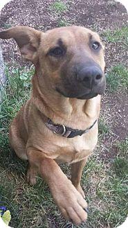 German Shepherd Dog/Shar Pei Mix Dog for adoption in Rathdrum, Idaho - Kiwi