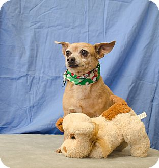 Chihuahua/Terrier (Unknown Type, Small) Mix Dog for adoption in Poteau, Oklahoma - DEXTER