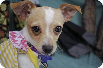 Chihuahua/Jack Russell Terrier Mix Puppy for adoption in San Antonio, Texas - Eden