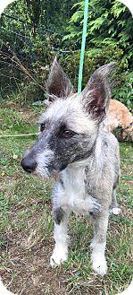 Irish Setter Mix Puppy for adoption in Tumwater, Washington - Buds