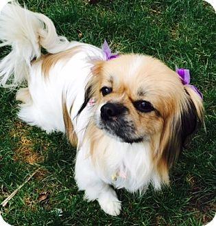 Pekingese Dog for adoption in Beavercreek, Ohio - Abbey