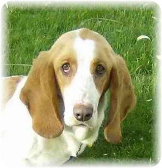 Basset Hound Dog for adoption in Wyoming, Minnesota - Madeline