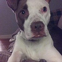 Pit Bull Terrier Mix Dog for adoption in Germantown, Ohio - Evie