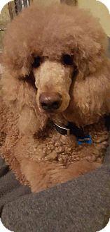 Standard Poodle Dog for adoption in Alpharetta, Georgia - Grover