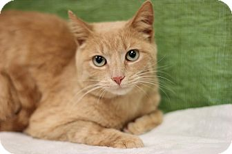 Domestic Shorthair Cat for adoption in Midland, Michigan - Blondee