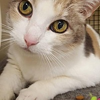 Calico Cat for adoption in Cincinnati, Ohio - Milkshake