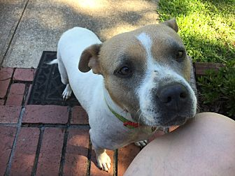 American Staffordshire Terrier/Chow Chow Mix Dog for adoption in Waynesboro, Tennessee - Stella