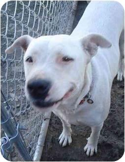 Labrador Retriever/Pit Bull Terrier Mix Dog for adoption in Fowler, California - Pearl