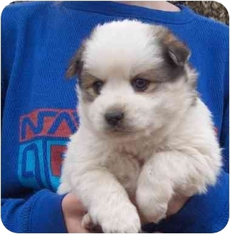Pomeranian/American Eskimo Dog Mix Puppy for adoption in Hendersonville, North Carolina - Fuzzy