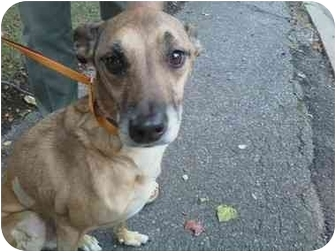 Shepherd (Unknown Type)/Whippet Mix Dog for adoption in Rochester Hills, Michigan - Lucky (pending)