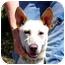 Photo 1 - Labrador Retriever/German Shepherd Dog Mix Dog for adoption in Berkeley, California - Buddy