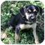 Photo 1 - German Shepherd Dog/Boxer Mix Puppy for adoption in Portland, Maine - Benny