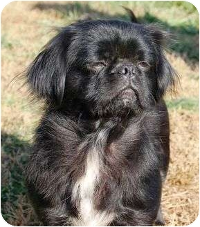 Pekingese Mix Dog for adoption in Spring Valley, New York - URGENT Daisy Mae