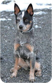 Blue Heeler Mix Puppy for adoption in Warren, Ohio - Abby