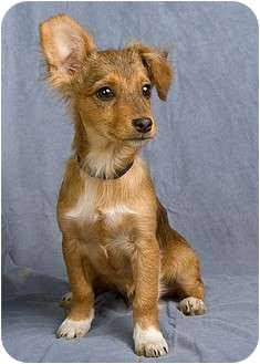Chihuahua/Dachshund Mix Puppy for adoption in Anna, Illinois - LANE