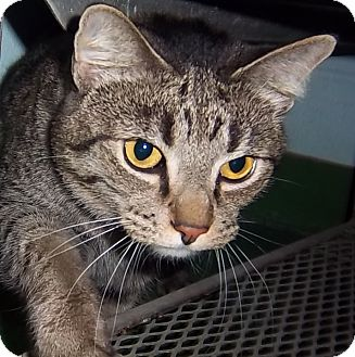 Domestic Shorthair Cat for adoption in South Haven, Michigan - Missy