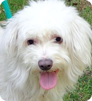 "Maltese/Poodle (Miniature) Mix Dog for adoption in Wakefield, Rhode Island - LUCY(BEAUTIFYL ""LITTLE"" LADY!!"