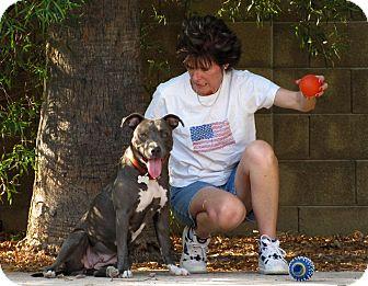 Staffordshire Bull Terrier Mix Dog for adoption in Phoenix, Arizona - SACHI