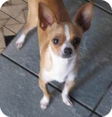 Chihuahua Mix Dog for adoption in San Diego, California - Pineki
