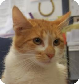 Domestic Mediumhair Kitten for adoption in Brooklyn, New York - George