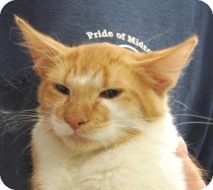 Domestic Mediumhair Kitten for adoption in Brooklyn, New York - Buddha