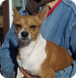 Jack Russell Terrier/Chihuahua Mix Dog for adoption in Post, Texas - Dunn