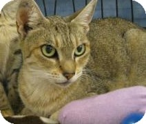Abyssinian Cat for adoption in Gainesville, Florida - Sarabi