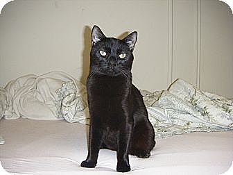 Domestic Shorthair Cat for adoption in New York, New York - Donny and Tula
