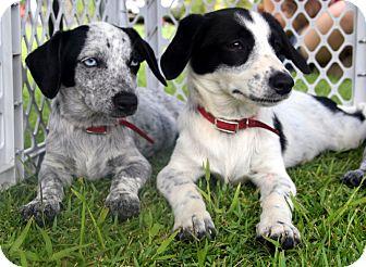 Dachshund/Catahoula Leopard Dog Mix Puppy for adoption in Honolulu, Hawaii - Sweetie