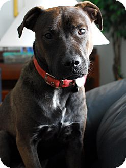 American Pit Bull Terrier/Shar Pei Mix Dog for adoption in Detroit, Michigan - Armando- Adopted!